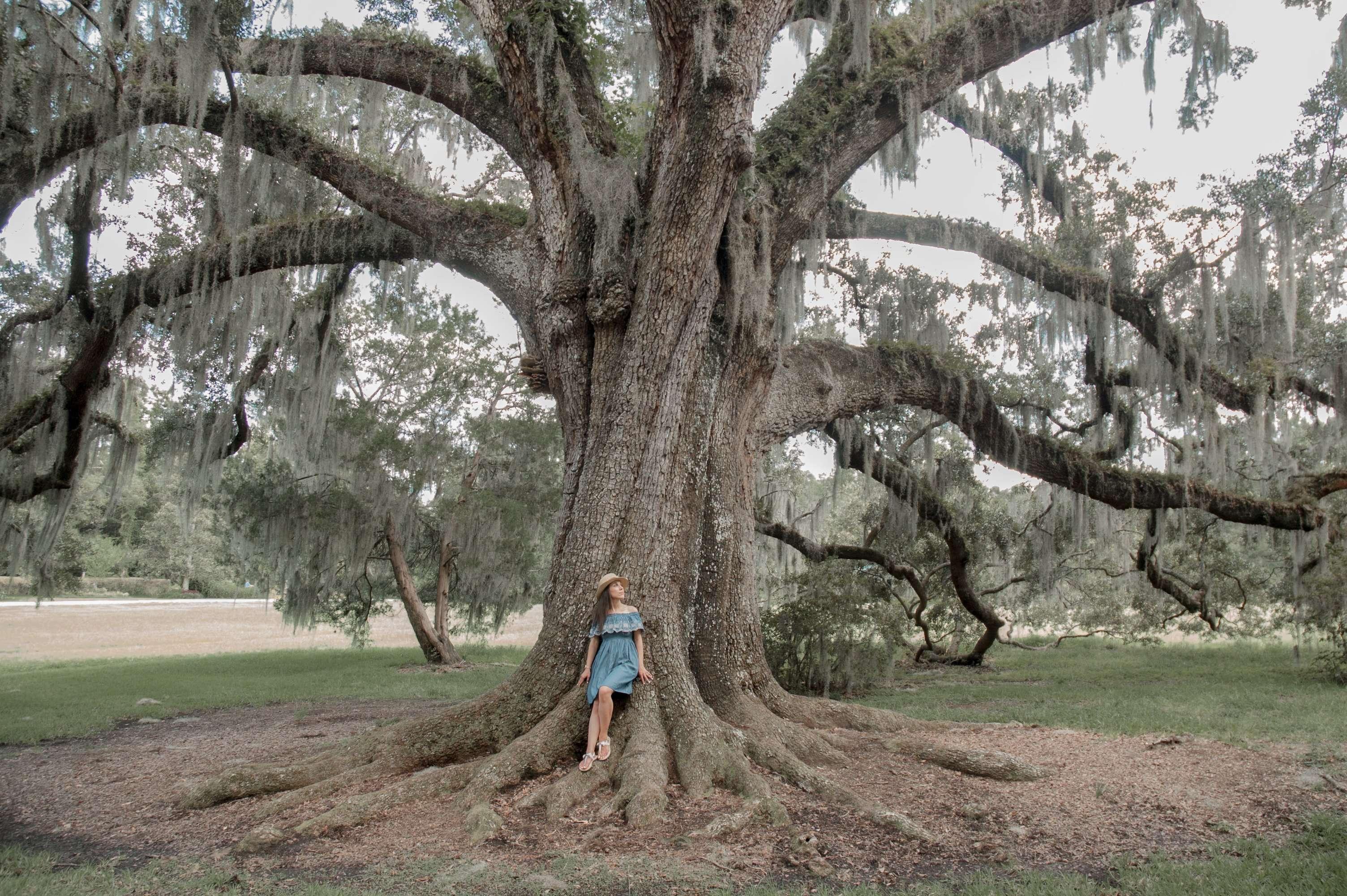 Giant Tree at Magnolia Plantation