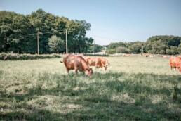 Cows grazing on Camino de Santiago