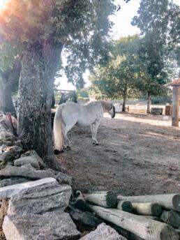 White horse Camino de Santiago