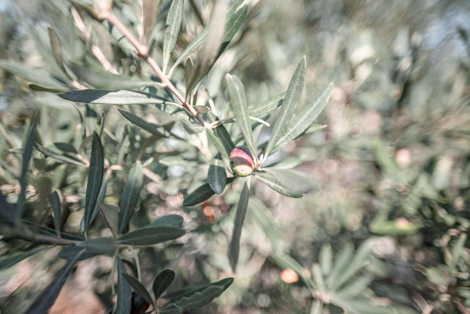 Biolea olive tree, Crete