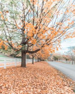 Orange trees in Woodstock, Vermont