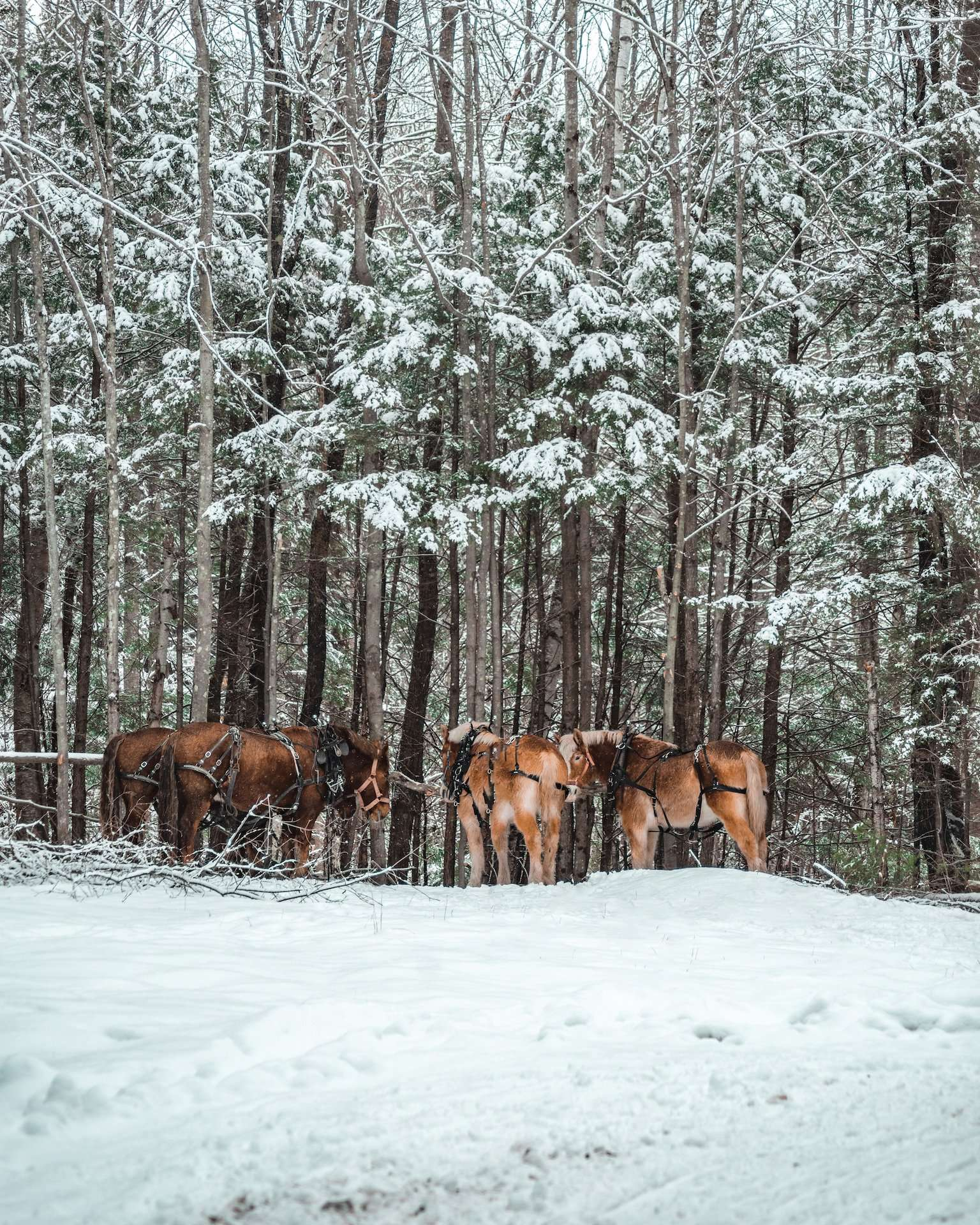 horses at Ice Castles New Hampshire